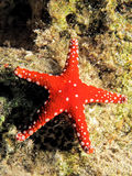 Gghardaqa sea star Stock Photography