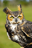 Ggreat Horned Owl Royalty Free Stock Image