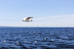 Ggull flying over the lake Stock Image