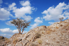 A ghaf tree. On a dry mountain Royalty Free Stock Photos