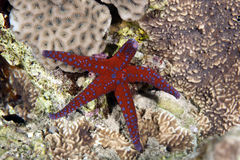 Ghardaqa sea star Royalty Free Stock Images