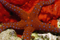Ghardaqa sea star Royalty Free Stock Photography