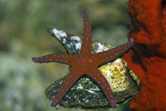 Ghardaqa sea star Stock Photo