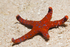 Ghardaqa sea star (fromia ghardaqana) Stock Images