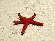 Ghardaqa sea star (fromia ghardaqana) Royalty Free Stock Images