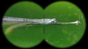 Gharial鳄鱼Gavialis gangeticus,亦称Gavial通过被看见的双筒望远镜 在野生生物的观看的动物 影视素材