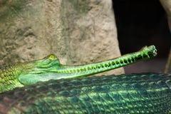 Gharial印地安gavial鳄鱼在布拉格动物园里 Gavialis Gangetic 图库摄影