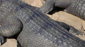 Gharial鳄鱼Gavialis gangeticus,亦称基于沙子的Gavial 影视素材