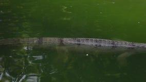 Gharial鳄鱼Gavialis gangeticus,亦称漂浮在绿色水中的Gavial 影视素材