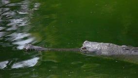 Gharial鳄鱼Gavialis gangeticus,亦称漂浮在绿色水中的Gavial 股票录像