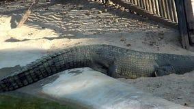 Gharial鳄鱼Gavialis gangeticus,亦称Gavial在助长中心 影视素材