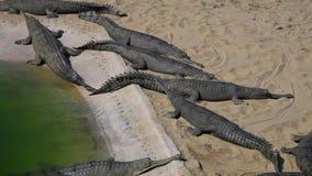 Gharial鳄鱼Gavialis gangeticus,亦称Gavial在助长中心 股票录像