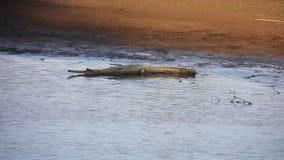 Gharial鳄鱼Gavialis gangeticus,亦称Gavial在河 股票视频