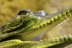 Gharial, également connu sous le nom de gavial images stock