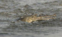 Gharial ή ψεύτικο gavial πορτρέτο κινηματογραφήσεων σε πρώτο πλάνο στον ποταμό Στοκ Εικόνες