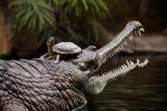 Gharial με μια χελώνα στο κεφάλι στοκ φωτογραφίες με δικαίωμα ελεύθερης χρήσης