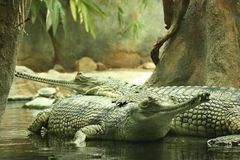 Gharial. Long-nosed crocodile lying on another Royalty Free Stock Photo