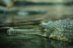 Gharial Foto de Stock Royalty Free