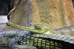 Gharial Fotos de Stock