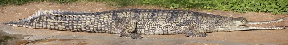 Gharial royalty free stock photo