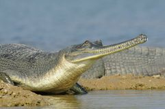 Gharial Photo stock