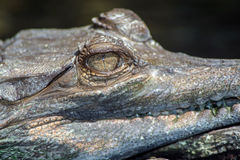 Gharial Immagine Stock