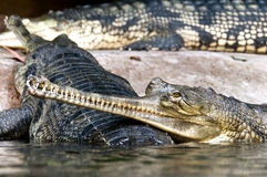 Gharial Obrazy Stock