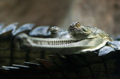 Gharial (also known as the gavial) Stock Photography