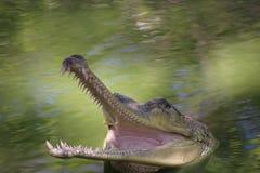 Gharial bij krokodilpark Stock Foto
