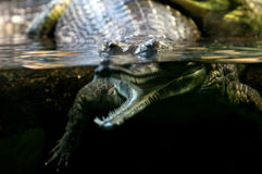 Gharial Stock Photo