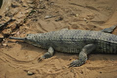 Gharial in captivity Stock Images