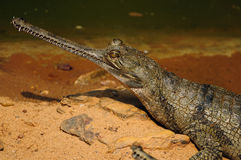 Gharial Crocodile Royalty Free Stock Image