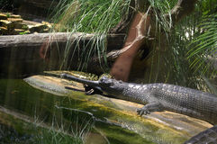 Gharial crocodile basking in Florida zoo Stock Photo