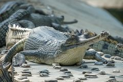 Gharial crocodile Gavialis gangeticus, also known as the Gavial in Breeding Center royalty free stock photography