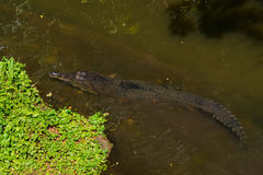 Gharial crocodile resting in an river Stock Photography