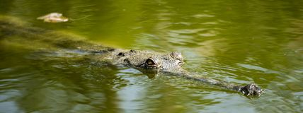 Gharial crocodile in water in Rajkot, India. The gharial Gavialis gangeticus, also known as the gavial or fish-eating crocodile, is a crocodilian in the family royalty free stock photography