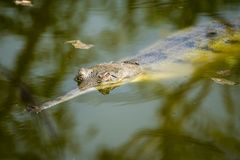 Gharial crocodile in water in Rajkot, India. The gharial Gavialis gangeticus, also known as the gavial or fish-eating crocodile, is a crocodilian in the family stock photography