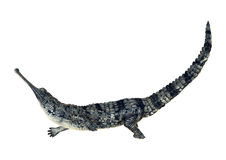 Gharial Royalty Free Stock Images