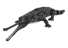 Gharial Stock Images
