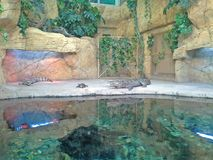 Gharial e giovani alligatori allo zoo di Minsk, Bielorussia Immagini Stock Libere da Diritti