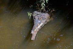 Gharial falso, también conocido como gharial malayo, Sunda gharial, y tomistoma fotos de archivo libres de regalías
