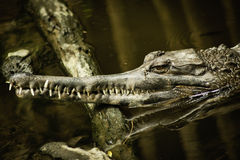 Gharial faux Photo stock