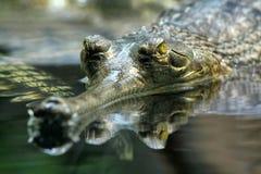 Gharial (gangeticus de Gavialis) images stock