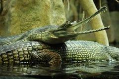 gharial gangeticus的gavialis 库存照片