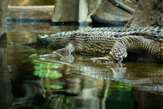 Gharial (gavial) Stockfotos