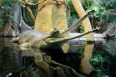 Gharial Royalty Free Stock Image