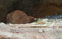 Gharial - Gavialis gangeticus -危急地危及在IUNC红色名单 库存照片