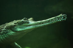 Gharial (Gavialis gangeticus) Royalty Free Stock Photography