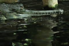 Gharial (Gavialis gangeticus) Stock Image
