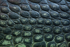 Gharial (Gavialis gangeticus), also knows as the gavial. Royalty Free Stock Photography